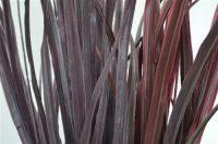 Large Black/Aubergine Grass Bush