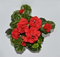 Geranium Bush Red