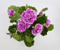 Geranium Bush Purple White