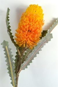 Banksia Yellow/Orange