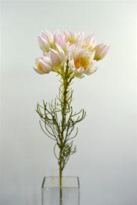 Blushin Bride Serruria Protea