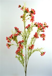 Geralton Wax Flower Coral