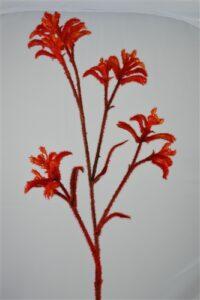 Kangaroo Paw Flame Red