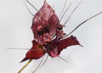 Bat Flower Orchid Burgundy/Aubergine