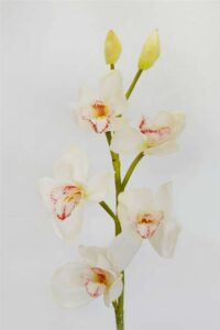 Cymbidium Orchard Pink/White