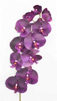 Phalaenopsis Purple