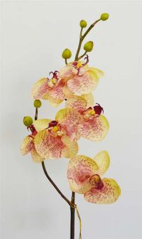 Phalenopsis Orchid Pink Green