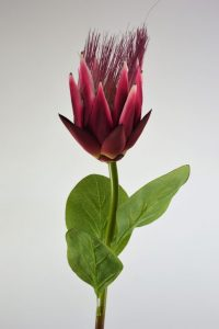 Corona Protea Fuchsia