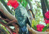 Blue Opal - Nature as Art - Gang Gang Cockatoo