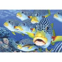 Blue Opal - Nature as Art - Oblique Banded Sweetlips
