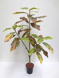 3.5' Croton Plant