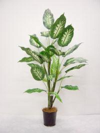 42'' Diffenbachia Plant