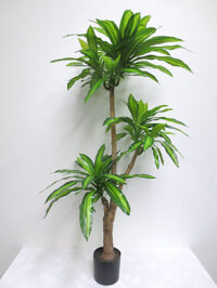 5.5' Potted Dracaena Fragrans Plant
