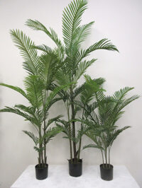 6' Potted Kentia Palm