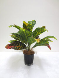Croton Leaf Plant